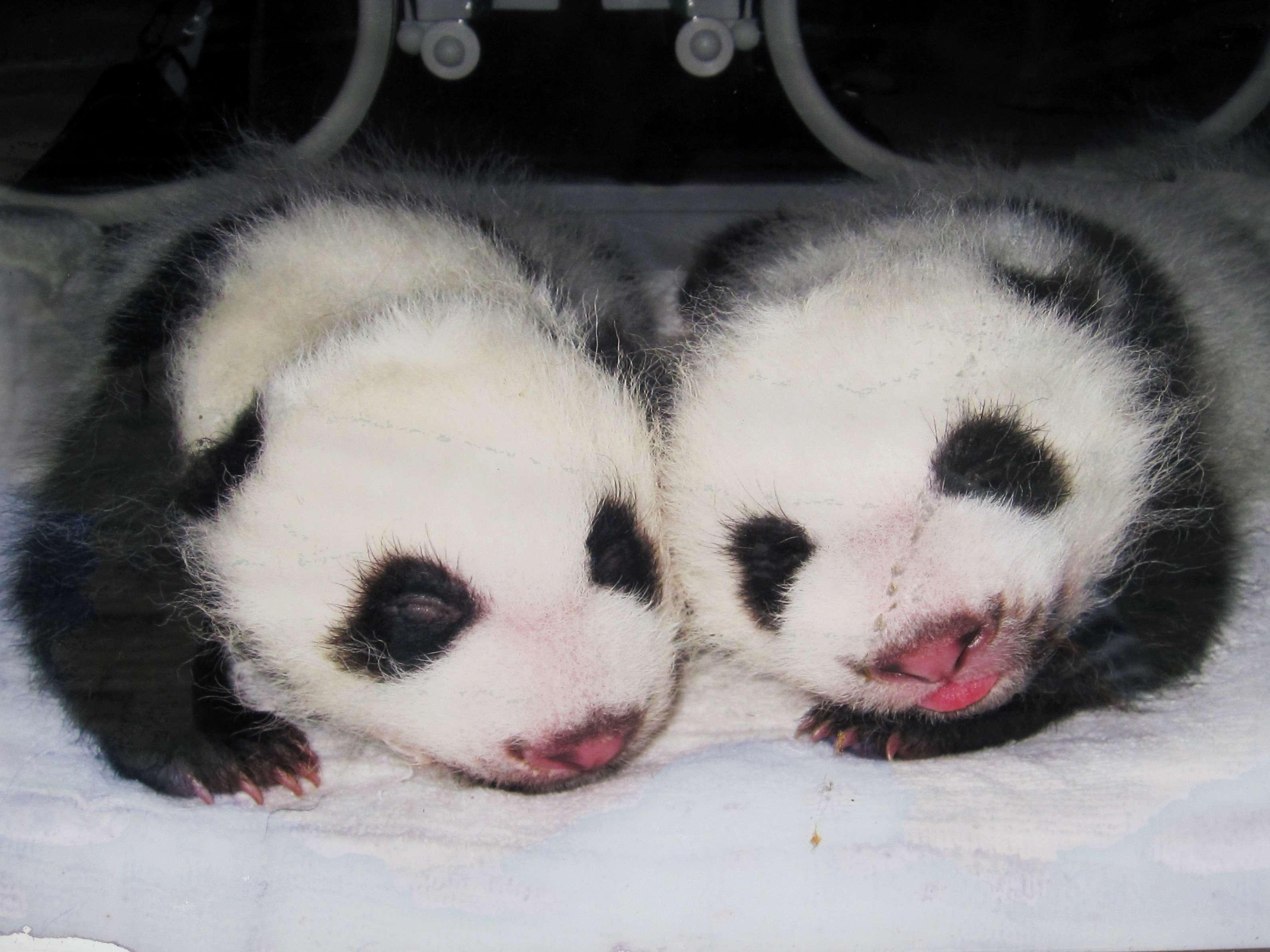 Giant Pandas Chengdu Research Center